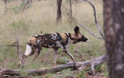 Wild Dog Project Sponsored By Bushlore